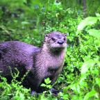 Daily Echo: The otter that was seen on the bat walk through the wild river reserve