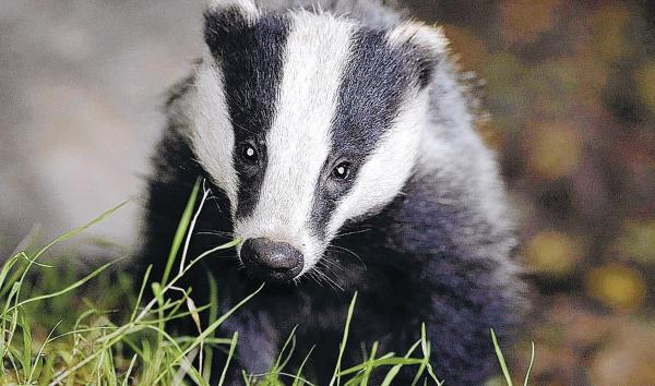 Trust calls on Government to vaccinate badgers against bTB