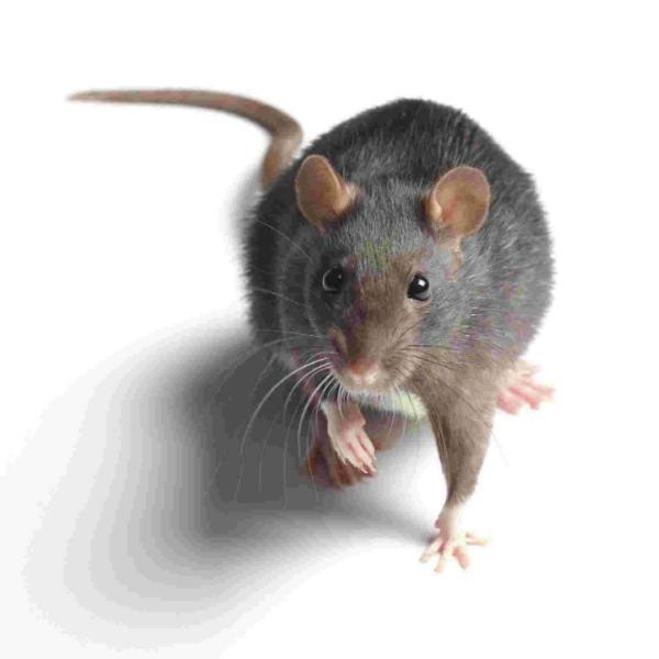 War declared on plague of rats