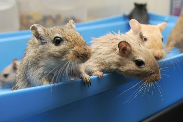 Some of the gerbils being cared