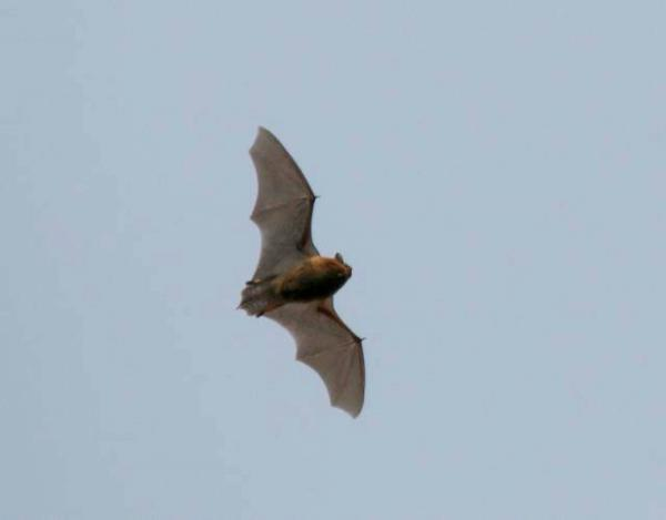 See bats in full flight during guided walk