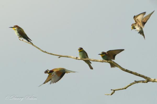 Fledgling bee-eater birds