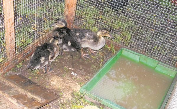 The rescued ducks before their return to the wild.
