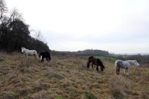Horses in a field near Alresford Golf Club.