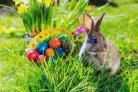 Living Easter bunny with eggs in a basket on a meadow in spring.