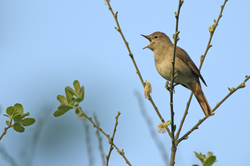 Common nightingale (Luscinia megarhynchos) adult singing. Spring. Cambridgeshire. Picture by Chris Gomersall.