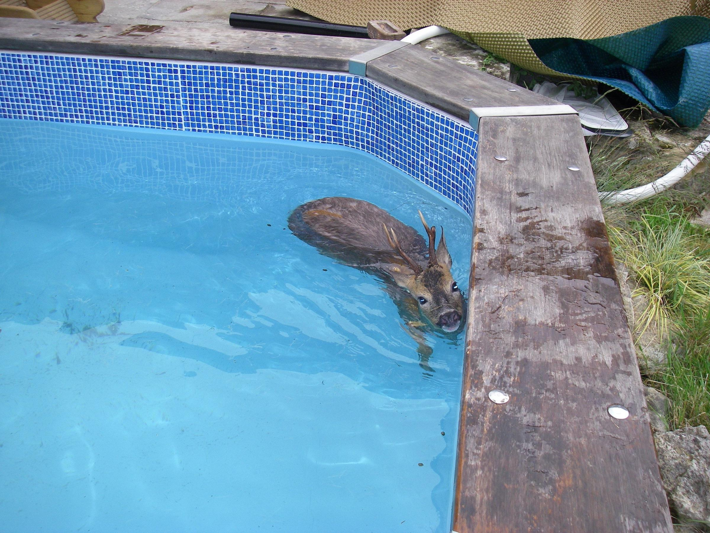 The deer stuck in the pool in Hedge End.