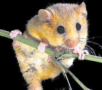 Will humble dormouse block holiday village?