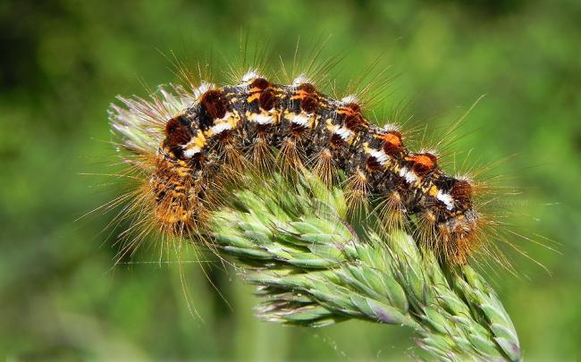 Brown-tail moth caterpillar. Picture by Noushka31 on Wikimedia Commons