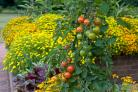 Tomatoes planted with tagetes.  Picture: Jerry Harpur/RHS/PA.